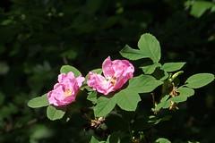 Kibuvits. Rosa (Jaan Keinaste) Tags: olympussh1 eesti estonia loodus nature kibuvits rosa rose
