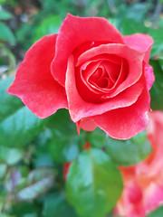 Rose (that Geoff...) Tags: rose rosa flower fleur flora garden jardin samsungs7 beauty beautiful pretty red orange