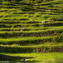 Green Terraces (brookis-photography) Tags: flores azores cows terraces green grass