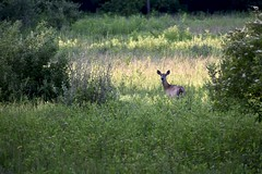 Watching (Myusername432) Tags: deer whitetailed carlisle reservation ohio evening wildlife animal park