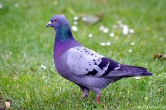 Beauty ... (hobbyphoto18) Tags: oiseau bird pigeon dove plume plumes plumage feather gris grey purple violet nature pentaxk50 pentax k50 animal
