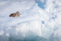 ᑐᓪᓕᒃ | Purple Sandpiper | Calidris acuminata | Breeding Plumage (Paul B Jones) Tags: purplesandpiper calidrisacuminata breedingplumage floeedge baffinisland bylotisland nunavut arctic canada bird wildlife animal nature ice snow white canon eos1dxmarkii ef600mmf4lisiiiusm ef14xiii ᑐᓪᓕᒃ