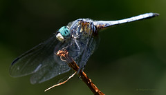 Blue Darner Dragonfly (ChasingNature) Tags: dragonfly bluedarner insect perched thornbush marsh