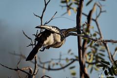 Southern Yellow-billed Hornbill (leendert3) Tags: leonmolenaar southafrica krugernationalpark wildlife wilderness wildanimal naturereserve naturalhabitat nature bird yellowbilledhornbill naturethroughthelens