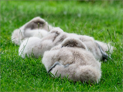 Siesta time (Phil McIver) Tags: riverlin bradgatepark muteswan leicestershire