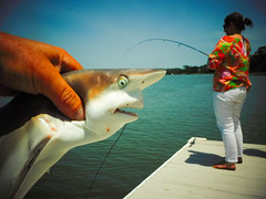 South Carolina pier rocking . (Nicolas Valentin) Tags: shark pier blacktipshark southcaroilna carolina fishing jaws teeth
