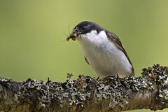 Pied Flycatcher (JaneTurner68) Tags: piedflycatcher flycatcher bird insects male blackwhite woodland canon1dmkiv canon600mmf4lens canon scottishhighlands scotland cairngorms