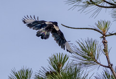 IMG_2163-2 Magpie (edhendricks27) Tags: magpie bird scavenger wildlife animal nature canon