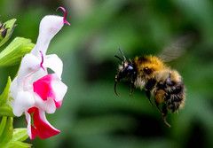 Bumblebee and hot-lips (Chalto!) Tags: hythe home garden hampshire insect bee bumblebee salvia hotlips