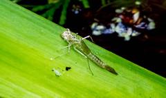 Damselfly exuvia (Chalto!) Tags: hythe home garden hampshire insect damselfly exuvia