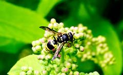Ancistrocerus gazella (Chalto!) Tags: hythe home garden hampshire insect wasp potterwasp