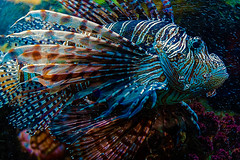 Vibrant (Anthonypresley1) Tags: nature tropical underwater water ocean lionfish wildlife marine sea fish animal coral colorful aquatic reef red exotic beautiful background blue natural aquarium wild scuba venomous pterois travel environment life predator diving poisonous ecosystem volitans lion fauna miles color dangerous saltwater common isolated egypt dive pteroisvolitans beauty redlionfish scorpaenidae coralreeffish drawing anthonypresley anthony presley