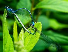 Azure damselflies mating (Chalto!) Tags: hythe home garden hampshire insect damselfly azuredamselfly