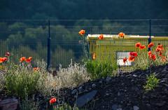 Summer's sun on train and poppies. (Azariel01) Tags: 2019 belgique belgium ronet namur rail tracks voies infrabel sncb nmbs poppies coquelicots fleurs flowers morning été summer autorail dieseltrain
