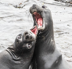 What Are You Looking At (Rennett Stowe) Tags: mouth fight eyes bigmouth funny seal angry argument staring beautifuleyes skirmish elephantseal funnyanimals angryanimals seals openmouth funnyanimal weirdanimal strangeanimal strangeanimals weirdanimals sillyanimal funnyseal funnyseals canon environmental marriage aggressive marinemammal ferocious ferocity marinemammals unyielding canonlenses tumult environmentalprotection environmentalsustainability canoneos5dmarkiv marinemammalsprotectionact bigeyes tension whatareyoulookingat wideeyed tongue screaming tongues redtongue heatedargument sexy scary californiacoast frightening teeth oral dentist openwide wider nose twopeopleyelling dentistexamination hilarious upsidedown nosy mindyourownbusiness siblings surprise embarrassing jawdropping siblingsfighting dispute rivalry fracas siblingrivalry terror terrified