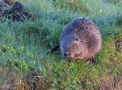 Beaver (wild) (KHR Images) Tags: beaver eurasianbeaver castorfiber wild mammal rodent rare river morning dawn perthshire scotland scottish wildlife nature nikon d500 kevinrobson khrimages