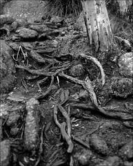 Tree roots, Porongurup National Park, Western Australia (fatb0y69) Tags: mamiyarz67 mamiyasekorz90mm film bw mediumformat