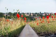 Poppies above the rail. (Azariel01) Tags: 2019 belgique belgium ronet namur rail tracks voies infrabel sncb nmbs poppies coquelicots fleurs flowers morning été summer