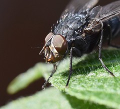 Blowfly face (Lancs & Lakes Outback Adventure Wildlife Safaris) Tags: nikon d3300 sigma105mm sigma 105mm macro gardenwildlife fly blowfly face hairy alien eyes insect invertebrate blackpool bispham