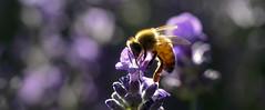 Bee Still (Karen McQuilkin) Tags: beestill bee macro lavender