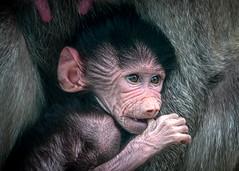 Bitty Baby Baboon (helenehoffman) Tags: mother baby animal mammal monkey baboon sandiegozoo primate motherandchild hamadryasbaboon papiohamadryas oldworldmonkey ethiopianhighlands conservationstatusleastconcern africarocks coth alittlebeauty coth5
