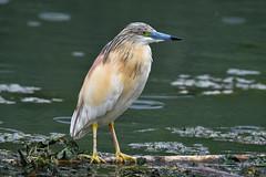 crabier chevelu 19D_3153 (Bernard Fabbro) Tags: crabier chevelu squacco heron oiseau bird