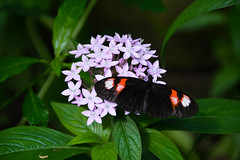 Postman Butterfly (Heliconius erato) (Seventh Heaven Photography) Tags: postman butterfly heliconius nikond3200 insect macro animal wildlife longwing plant chester zoo cheshire bokeh erato flowers bloom flora