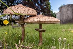 'The Prince' mushroom