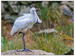 007 9363 (Copy)c African Spoonbill (Antirrhinum) Tags: animals birds surrey farnham birdworld spoonbill