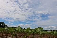 IMG_7555 (UGA CAES/Extension) Tags: cornboil jphilcampbellsrresearchandeducationcenter cropandsoilsciences oconeecounty researchers cropandsoil livingmulch