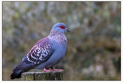 022 9545 (Copy)c African Rock Dove (Antirrhinum) Tags: animals birds surrey farnham birdworld africanrockdove dove