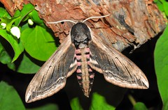Privet Hawk-moth (Sphinx ligustri) (Nick Dobbs) Tags: insect moth privet hawk sphinx ligustri sphingidae sphinginae dorset