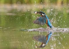 Fly Amongst Diamonds (janinelee66) Tags: kingfisher dive fish pond blue green waterdroplets water bird orange food wild free fly