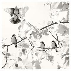 Three baby kingbirds, and a parent. (jeanne.marie.) Tags: squareformat easternkingbirdtyrannustyrannus fledglings parent babyanimals babybirds birds natureinmonochrome monochrome blackwhite three pond summer sycamoretree 100xthe2019edition 100x2019 image72100