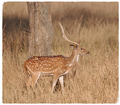 In The Golden Light of Ranthambore (The Spirit of the World ( On and Off)) Tags: india safari gamedrive gamereserve nationalpark nature rajasthan ranthamborepark light morning golden grasses tallgrasses asia deer spotteddeer antlers wildlife wildlifereserve stag buck