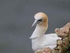 Just love going to #bemptoncliffs #rspb #birdwatching #birds #nature #cliffs #wildlife (Andreadm66) Tags: bemptoncliffs rspb birdwatching birds nature cliffs wildlife
