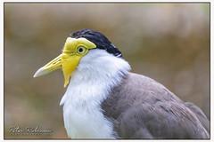 006 9355 (Copy)c Masked Lapwing (Antirrhinum) Tags: animals birds surrey farnham birdworld lapwing