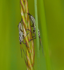 P1890787 - Weichwanzen Nymphen (Miridae) (Bine&Minka2007) Tags: insekten insects macro makro mittwochsmakro natur nature