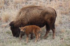 A baby buffalo in North Dakota (Hazboy) Tags: hazboy hazboy1 north dakota teddy theodore roosevelt national park parc animal buffalo bison us usa america april 2019 baby