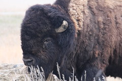 A close up picture of a buffalo (Hazboy) Tags: hazboy hazboy1 north dakota teddy theodore roosevelt national park parc animal buffalo bison us usa america april 2019