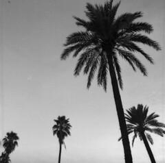 up to the sun (irgendwiejuna) Tags: palms nopeople blackandwhite hasselblad hasselblad500cm ilford ilfordfilm hp5 analogue 6x6 mediumformat spain sevilla