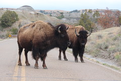 Blocking the road in front of me.... (Hazboy) Tags: hazboy hazboy1 north dakota teddy theodore roosevelt national park parc animal buffalo bison us usa america april 2019