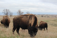 Three buffaloes in front of me (Hazboy) Tags: hazboy hazboy1 north dakota teddy theodore roosevelt national park parc animal buffalo bison us usa america april 2019