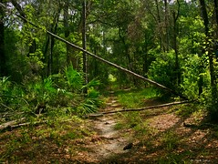 Overgrown Fire Trail (surfcaster9) Tags: trail trees nature lumix20mmf17llasph lumixg7 florida forest palm pine dirt outdoors