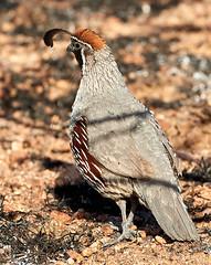 06262019000008561 (Verde River) Tags: bird birds buzzard vulture reptile antelopesquirrel nature