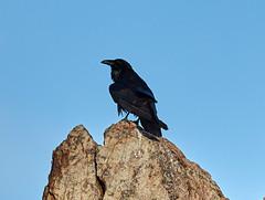 06262019000008552 (Verde River) Tags: bird birds buzzard vulture reptile antelopesquirrel nature