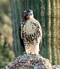 06262019000008578 (Verde River) Tags: bird birds buzzard vulture reptile antelopesquirrel nature
