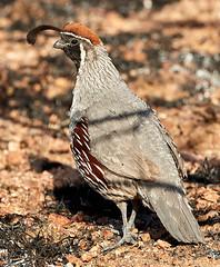06262019000008560 (Verde River) Tags: bird birds buzzard vulture reptile antelopesquirrel nature
