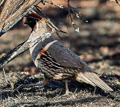 06262019000008554 (Verde River) Tags: bird birds buzzard vulture reptile antelopesquirrel nature