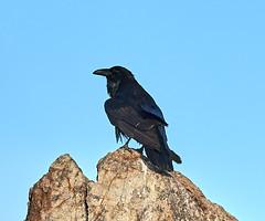 06262019000008551 (Verde River) Tags: bird birds buzzard vulture reptile antelopesquirrel nature